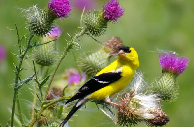 Goldfinch Symbolism and Thistles For Healing