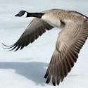 Goose Animal Totem