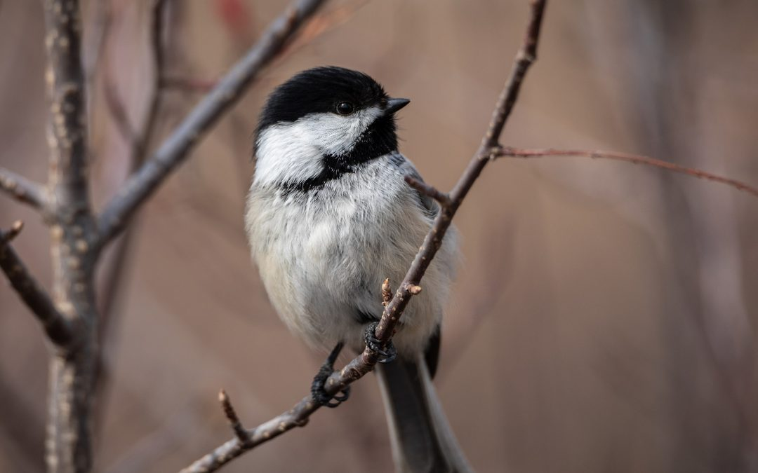 View from a Birdfeeder: Chickadees and Tufted Titmouse