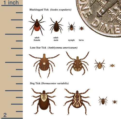 Lovely.  Ticks.  Lyme?