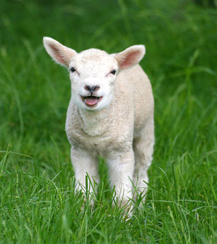 Little Lamb Springing