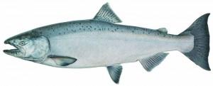 salmon totem medicine
