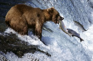 grizzly bear and salmon totems medicine