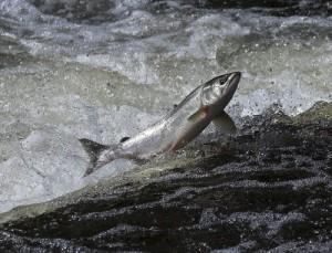 salmon medicine totem